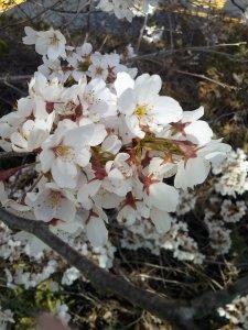 white sakura3
