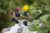 7551764-blackberries-on-a-branch[1]