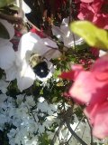 bee and azalea