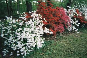 May side yard azaleas1