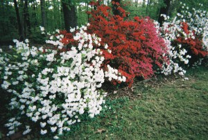 May side yard azaleas1