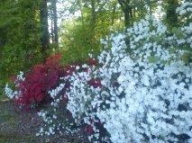 wood azaleas
