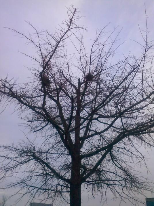 bare tree empty nests