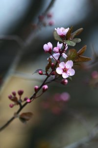 purple_plum_blossom_by_birdylee-d61m6kl[1]