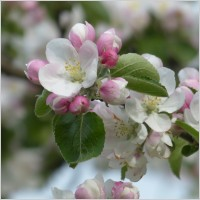 apple_blossom_apple_tree_flower_232275[1]