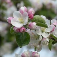 apple_blossom_apple_tree_flower_232275[1]