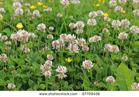 stock-photo-color-photo-of-a-field-of-clover-in-grass-87709456[2]