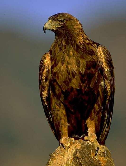 golden_eagle[1]