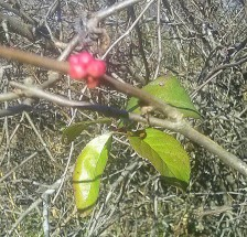 copyright kanzensakura - flowering quince buds, spring is coming