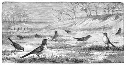 """Robins"" free illustration by John Burroughs, 1876"