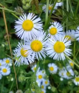 fleabane daisies - copyright kanzensakura