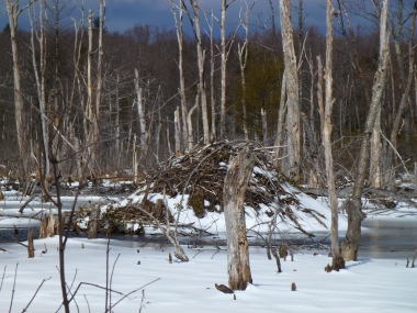 free public domain image - Beaver lodge in the winter