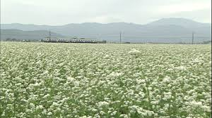 Getty Images Japanese Buckwheat field