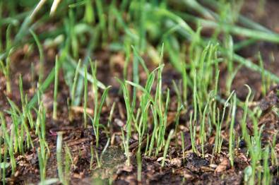 grass shoots Public Domain Image