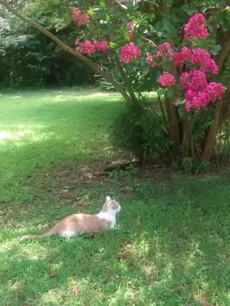 SamCat last year under crepe myrtle